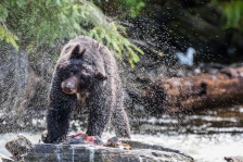 The Southern Southeast Regional Aquaculture Association's (SSRAA) Neets Bay Salmon Hatchery out of Ketchikan, AK spawning and releasing salmon back into the wild